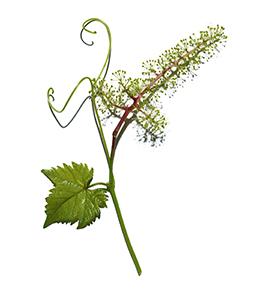 Extrait de cellules de fleur de vigne